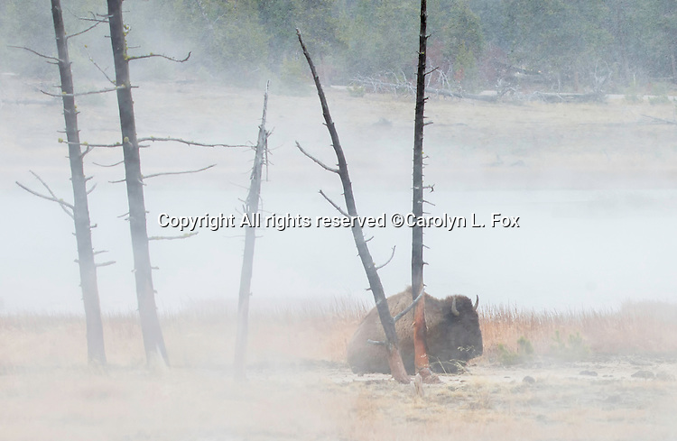 A bison lays near hot pools in Yellowstone.