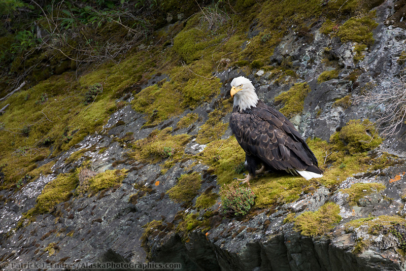 Bald Eagle, southcentral, Alaska.