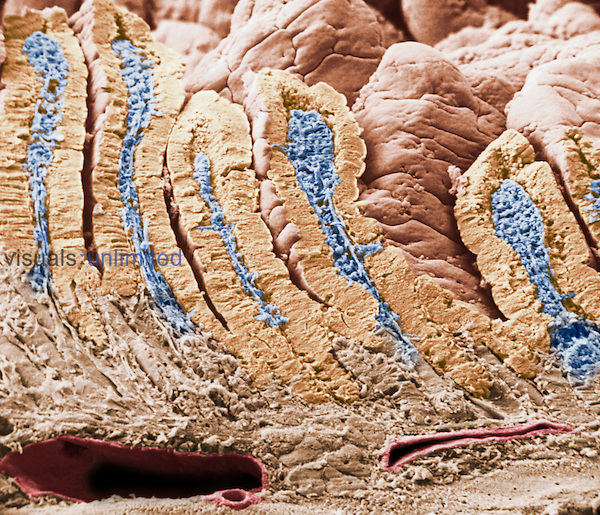 Cross-section of the mammal duodenum or small intestine showing villi and the intestinal glands. SEM X140.  **On Page Credit Required**