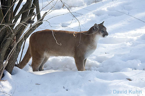 0218-1011  Mountain Lion (Cougar) in Snow, Puma concolor (syn. Felis concolor)  © David Kuhn/Dwight Kuhn Photography.
