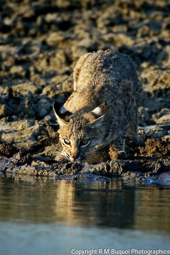 Bobcat drinking at waters edge