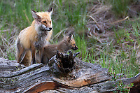 The expressions on these two foxes (Vulpes vulpes) say a great deal. The kit is curious and without a care with the parent watches for danger and opportunity.