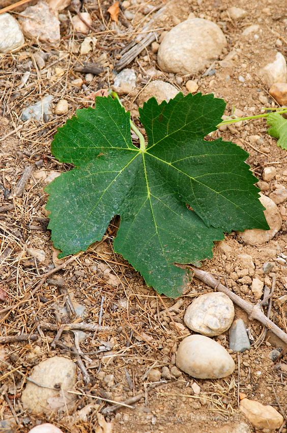Domaine de Nidoleres. Roussillon. Vine leaves. Syrah grape vine variety. In the area called Les Alberes. Terroir soil. France. Europe. Vineyard.