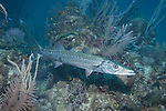 Gardens of the Queen, Cuba; a Great Barracuda fish hovering amongst the coral reef