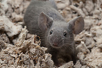 A gray male pet mouse stands on all four paws and looks just past the camera, seemingly ready for anything.  He's in an exploration mode, looking around the area with ears perked up and whiskers at the ready.