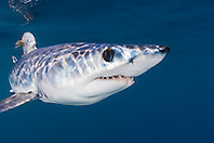 shortfin mako shark, Isurus oxyrinchus, with parasitic copepods, very aggressive and the fastest swimmer of all shark species, off San Diego, California, East Pacific Ocean