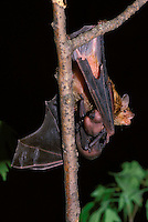 Big brown bat (Eptesicus Fuscus) Mother with baby hanging on twig