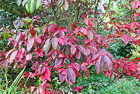 Oxydendron arboreum sourwood tree in autumn fall foliage color
