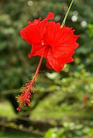 Hibiscus flower, Lancetilla Botanical Garden, Honduras. Lancetilla Garden was established by American botanist William Popenoe in 1926.
