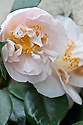 Camellia japonica 'Mrs D.W. Davis', glasshouse, mid March.