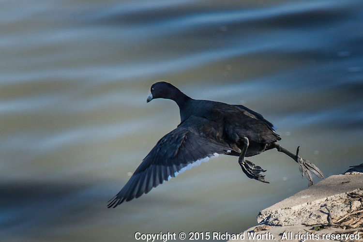 An American Coot captured mid-air, leaping into the waters of Lake Elizabeth on a warm February afternoon.