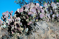 OPUNTIA CACTUS<br /> Opuntia Violacea (Purple Prickly Pear)<br /> Prickly pear cactus represent about a dozen species of the Opuntia genus (Family Cactaceae) in the North American deserts. All have flat, fleshy pads that look like large leaves.
