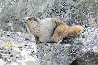 A hoary marmot in the rocks near Skagway, Alaska