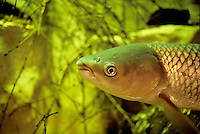 Grass Carp, Underwater