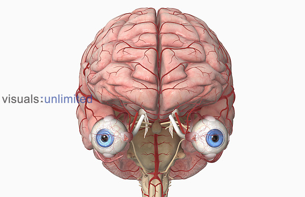 An anterior view of the arteries of the brain and the eyes. Royalty Free