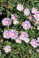 Delosperma cooperi 'Lavender Ice' Ice Plant