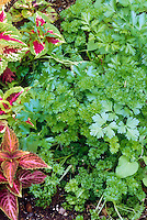 Parsley perennial herb with Coleus foliage annual plants Solenostemon.