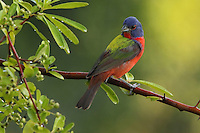 Painted Bunting again, this time with very early light..<br />