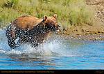 Alaskan Coastal Brown Bear Fishing, Silver Salmon Creek, Lake Clark National Park, Alaska