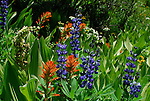 paintbrush, lupine, corn lily