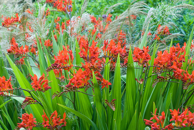 Crocosmia lucifer with stipa calamagrostis plant for Ornamental grass with red flowers