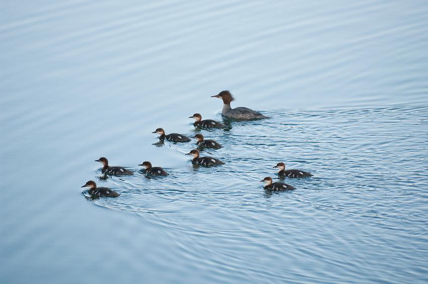 A family of mergansers swim on Lake Superior at Isle Royale National Park.