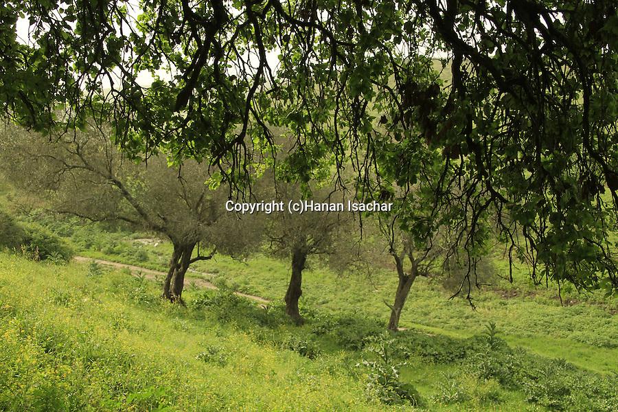 Israel, Mount Tabor Oak in Menashe Heights
