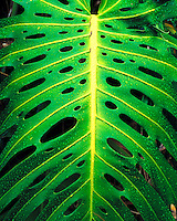 Monstera Plant in Rain, Iao Valley State Park, Maui, Hawaii