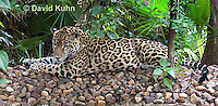 0615-1110  Jaguar, Belize, Panthera onca  © David Kuhn/Dwight Kuhn Photography
