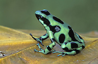 Green and Black Poison Frog (Dendrobates auratus), adult, Cahuita National Park, Costa Rica