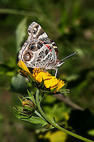 Painted Lady Butterfly on Cowpen Daisy