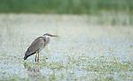 Grey Heron, Areda Cinerea, Lesvos Island, Greece, Kalloni Salt Pans, wading in water, winter visitor , lesbos