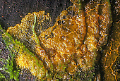 Slime Mold plasmodium on wood (Myxomycete), Marin County, California, USA