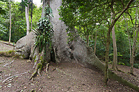 Giant, ancient tree, ancient Mayan ruins of Carocol, Belize