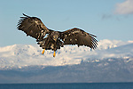 A juvenile bald eagle in flight at Homer, Alaska.