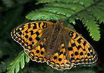 Dark Green Fritillary, Argynnis aglaga, Butterfly, adult, wings open.United Kingdom....