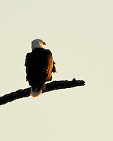 Bald Eagle from the Llano, TX nest at sunset.