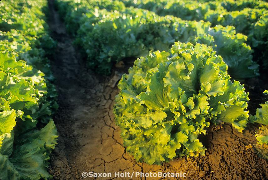 Row of Crisphead/Iceberg Lettuce in organic farm
