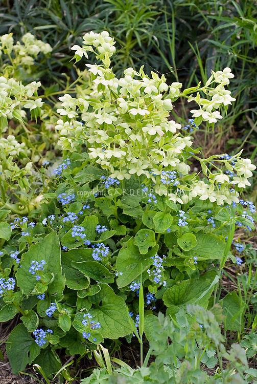 Helleborus foetidus + Brunnera macrophylla, both in bloom