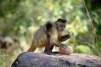 Brown Capuchin Monkey (Cebus apella), Piaui, Brazil