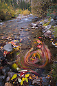 Creek winding through forest in fall; colorful leaves whirling in back eddy; motion blur due to long exposure, Yukon, Canada