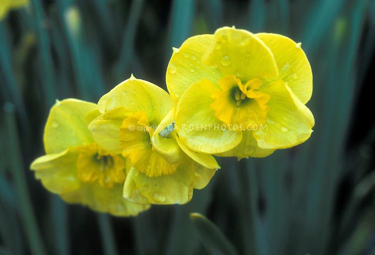 Narcissus Sun Disc daffodil