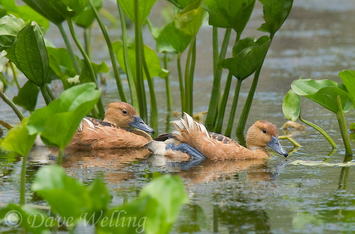 596900007 a mated pair of wild fulvous whistling-ducks dendrocygna bicolor float together in a small pond in laguna atascosa national wildlife refuge in the rio grande valley of south texas