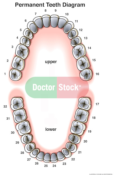 Permanent (Adult) Teeth Diagram | Doctor Stock