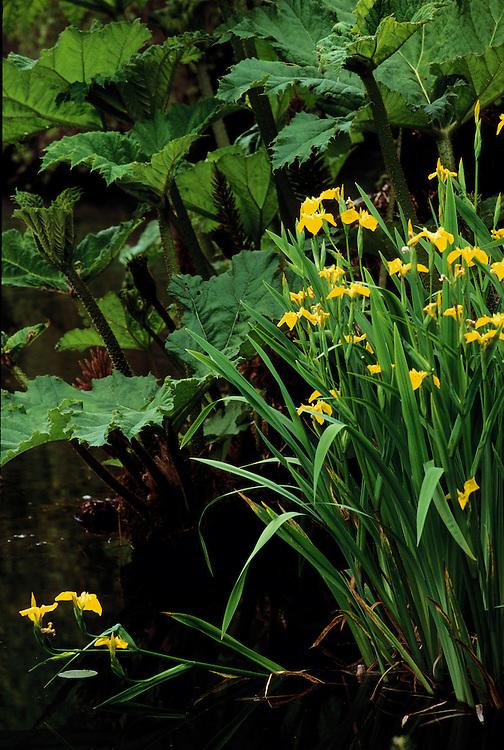 Iris pseudacorus (yellow flag) and Gunnera manicata in Heather Pond at Van Dusen Botanical Garden, Vancouver, BC.