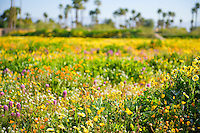 Desert wildflowers in foreground with back drop of palm trees out of focus
