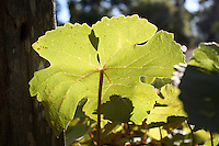 A backlit grape leaf, with the shadow of another leaf growing outside of Willits in Mendocino County in Northern California.