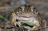 Natterjack Toad head (Bufo calamita), Switzerland