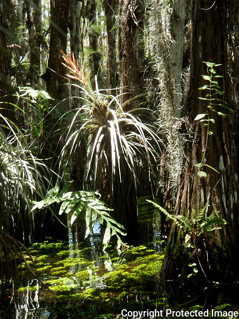 stand of bald cypress trees, covered in flowering bromeliads, ferns and orchid plants, stand in the knee deep rainy season level of water in Everglades National Park.  Water plants float just under the surface