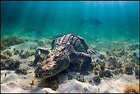 BNPS.co.uk (01202 558833)<br /> Pic: ChristianVizl/BNPS<br /> <br /> A real wildlife snap...<br /> <br /> These incredible holiday snaps show what it's like to be just inches from the jaws of a deadly crocodile. <br /> <br /> Photographer Christian Vizl captured these shots when he got up close to American crocodiles off the coast of Mexico, where a colony of about 500 of the reptiles live in the wild.<br /> <br /> He spent a day in the water with the fearsome beasts, which can grow up to 20ft long, and can attack in a second. He was able to remain safe by reading the creature's body language.